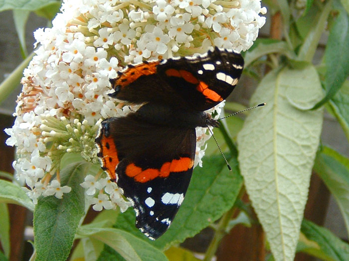 Red Admiral butterfly, my garden